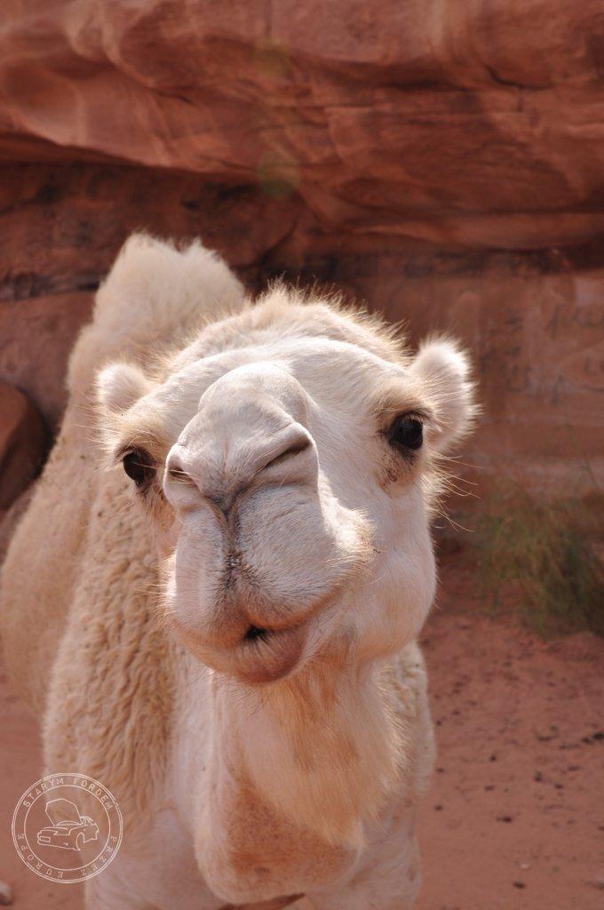 Wielbłąd camel