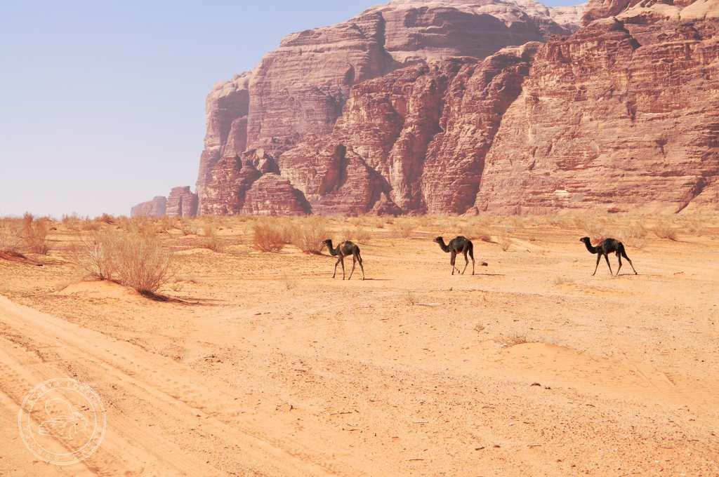 Dzikie wielbłądy